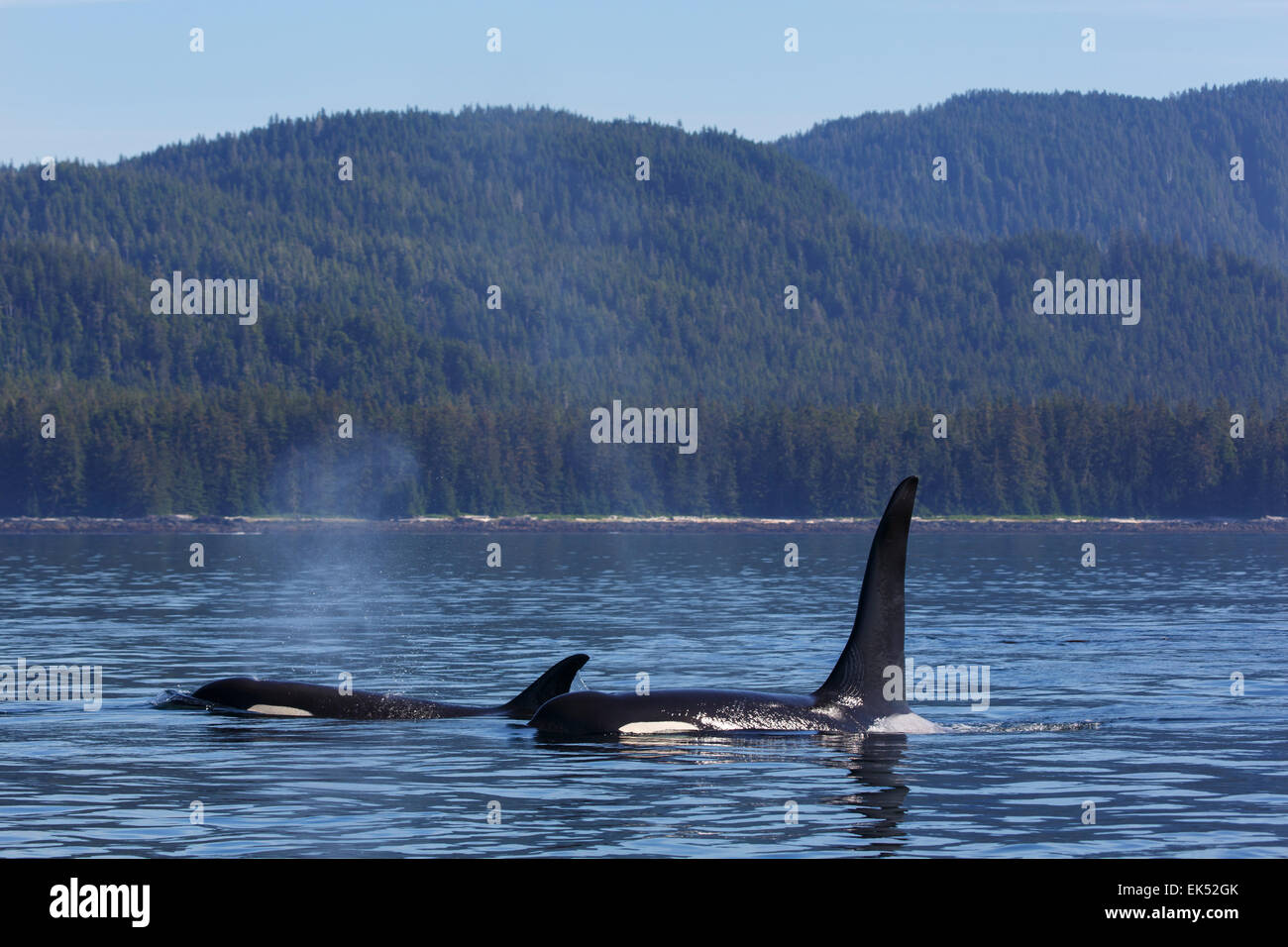 Orcas from the AF5 pod, Frederick Sound, Tongass National Forest, Alaska. - Stock Image