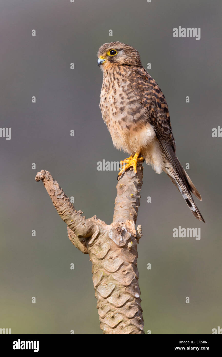 Neglected Kestrel, Sao Nicolau, Cape Verde (Falco tinnunculus neglectus) - Stock Image