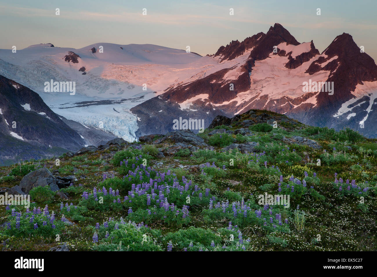 Wildflowers on Mount Stroller White above the Mendenhall Glacier, Tongass National Forest, Alaska - Stock Image
