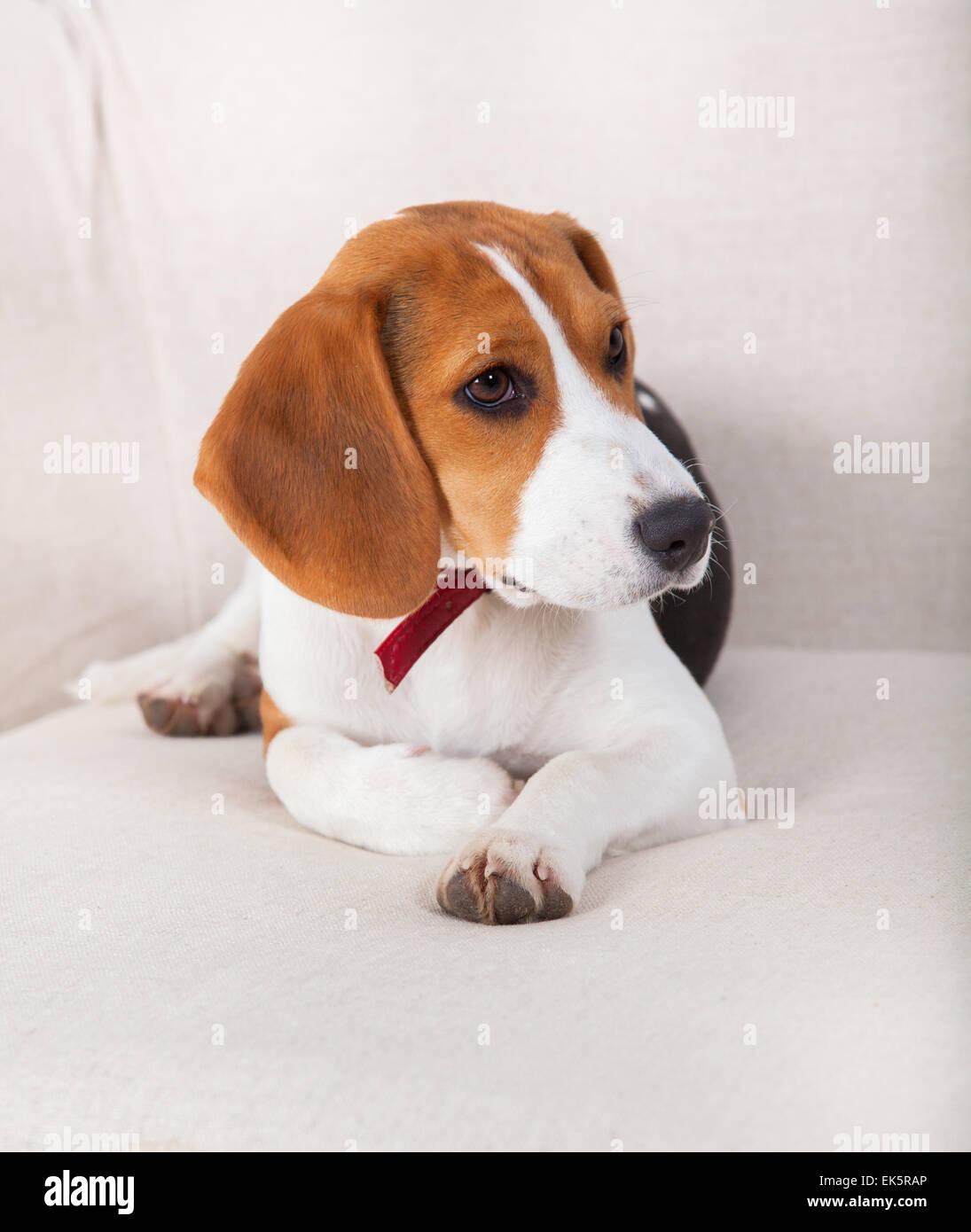 Portrait of a beagle dog sitting on the sofa. - Stock Image