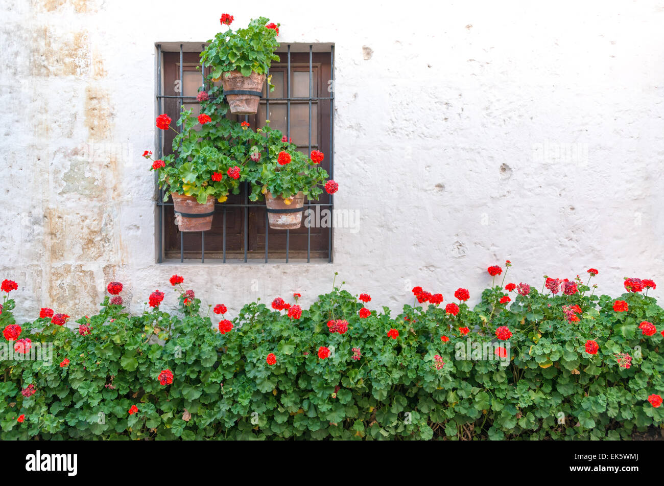 Red flowers adorning a white wall in the historic Santa Catalina Monastery in Arequipa, Peru - Stock Image