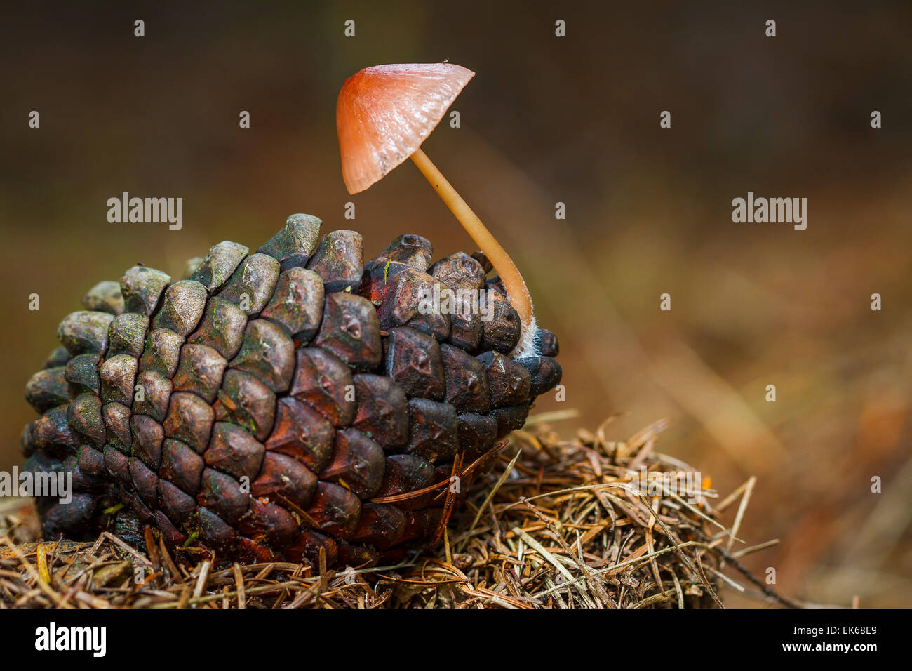 Pine cone and Pine cone mushroom (Mycena seynesii). - Stock Image