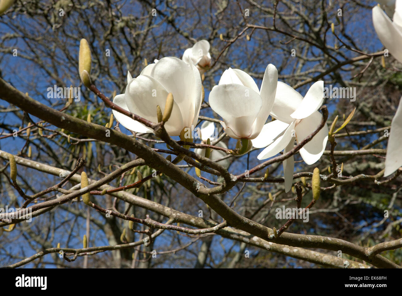 Magnolia david clulow stock photos magnolia david clulow stock large white flowers of magnolia david clulow tree at pinetum park st austell cornwall mightylinksfo