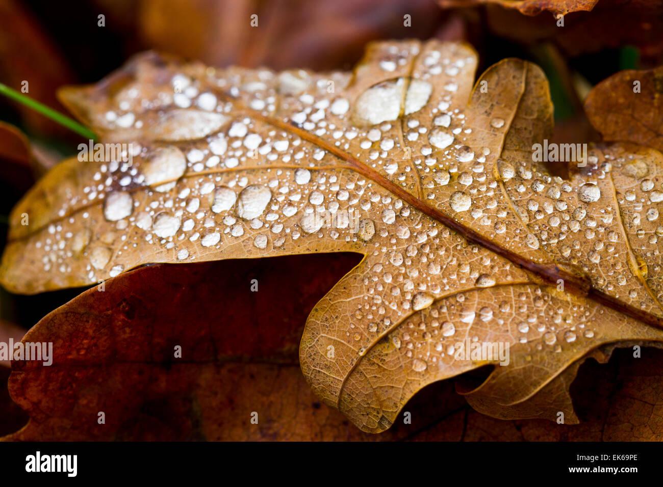 Oak leaf in autumn. Stock Photo