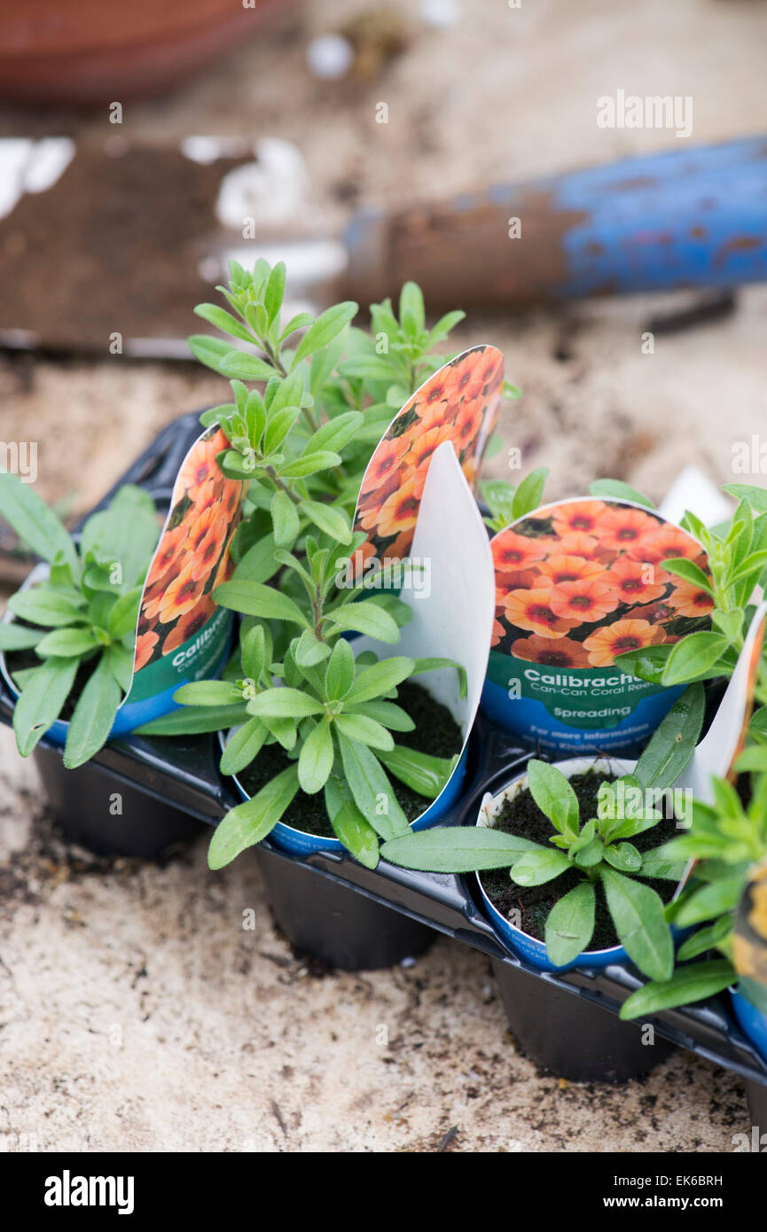 Calibrachoa 'Can can coral reef' flower seedlings in a greenhouse. Mini Petunia starter plants - Stock Image