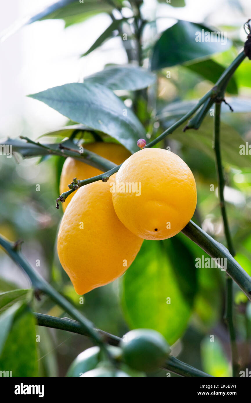 Citrus limon 'meyer' . Lemon fruit on a tree in the glasshouse at RHS Wisley gardens, Surrey, UK - Stock Image