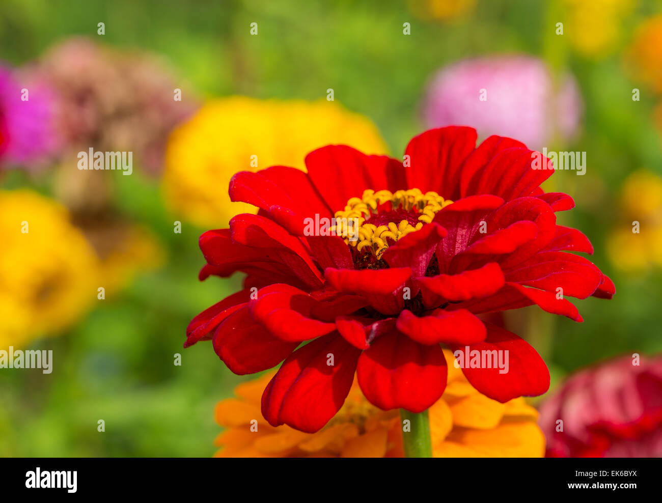 Vibrant zinnia flowers in the home garden. - Stock Image