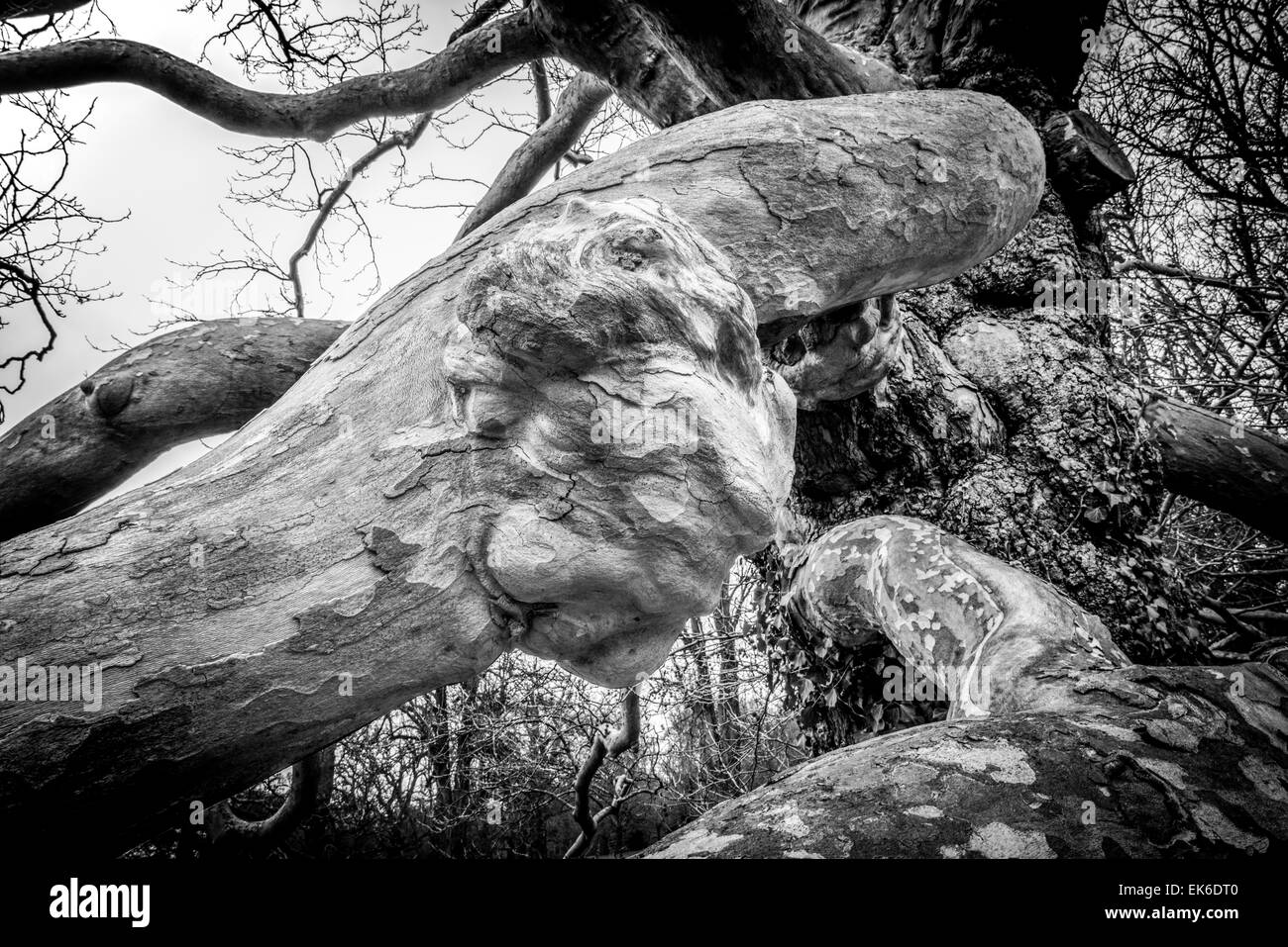 Black and white image of a creepy mans face growing out of a tree branch - Stock Image
