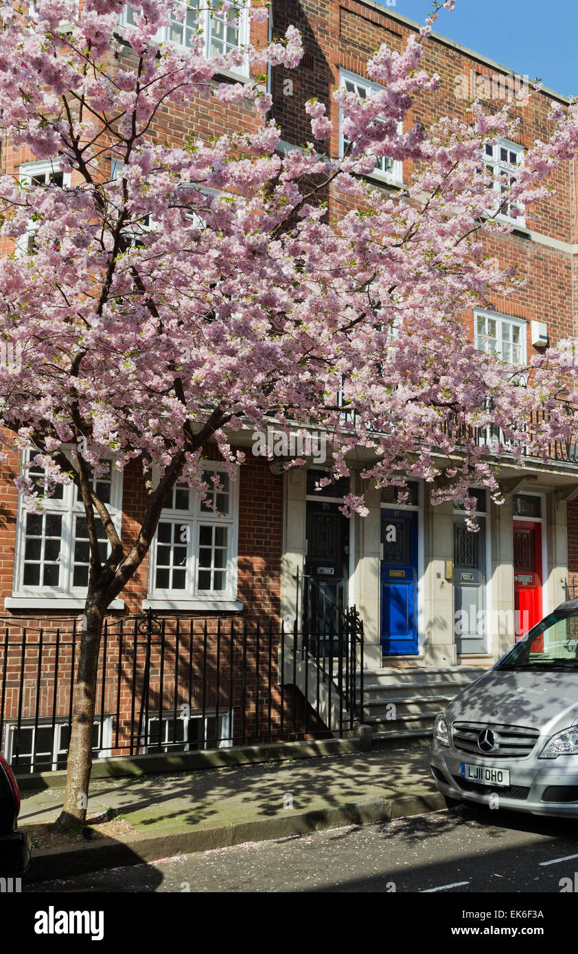 London 7th April 2015:   Glorious display of Spring blossom; Marylebone; London; England; UK, This follows a few - Stock Image