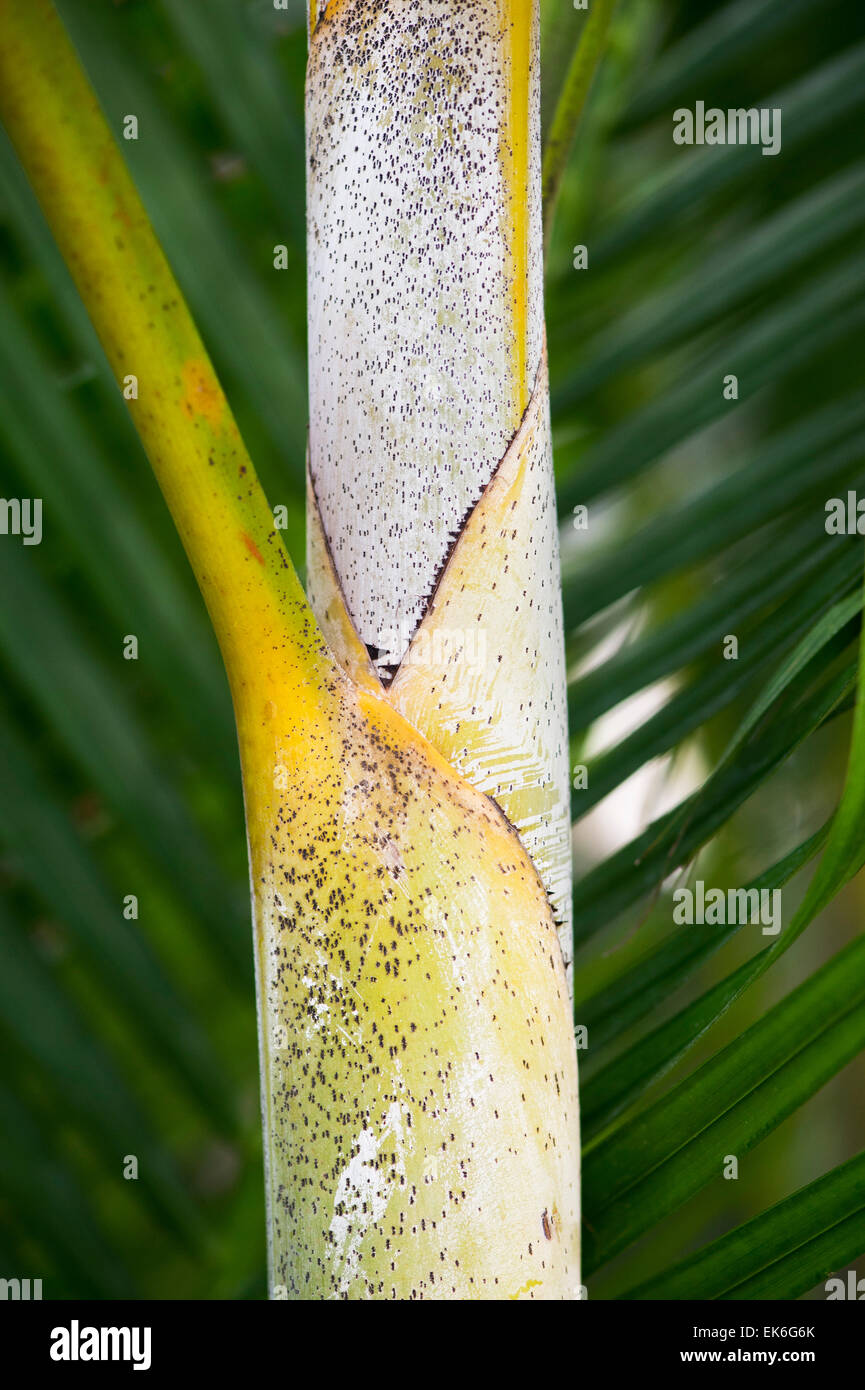Dypsis lutescens. Golden cane palm / Areca palm or Butterfly palm leaf stem close up - Stock Image