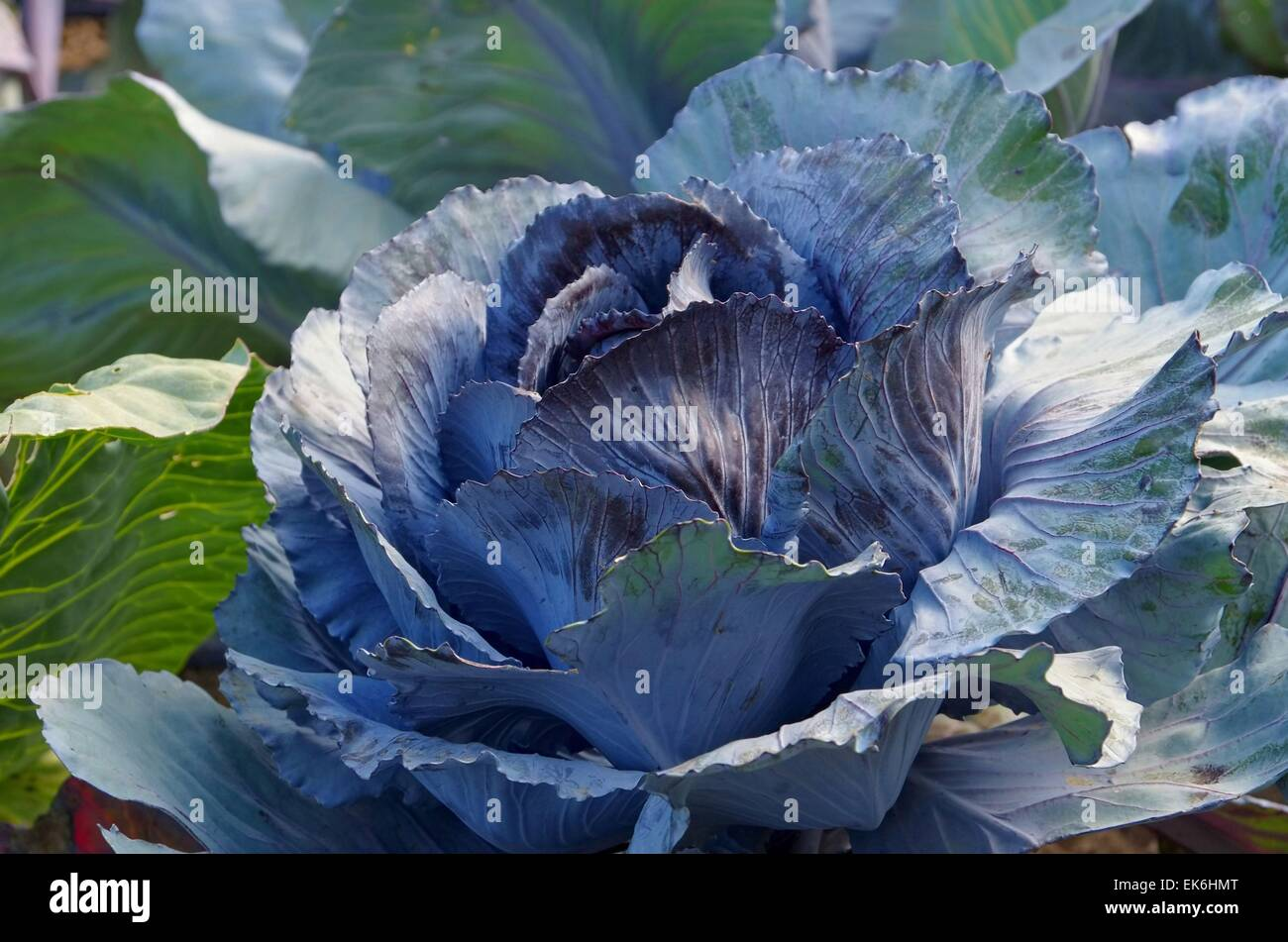 Rotkohl Feld - red cabbage field 02 - Stock Image