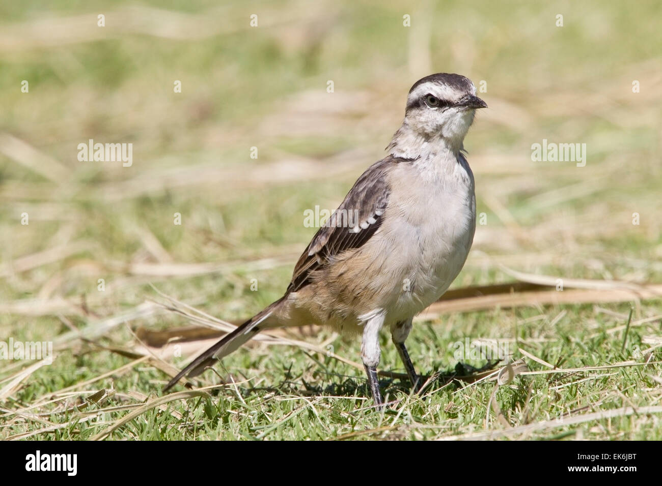 Chalk-browed Mockingbird (Mimus saturninus) adult standing on short vegetation, Costanera Sur park, Buenos Aires - Stock Image