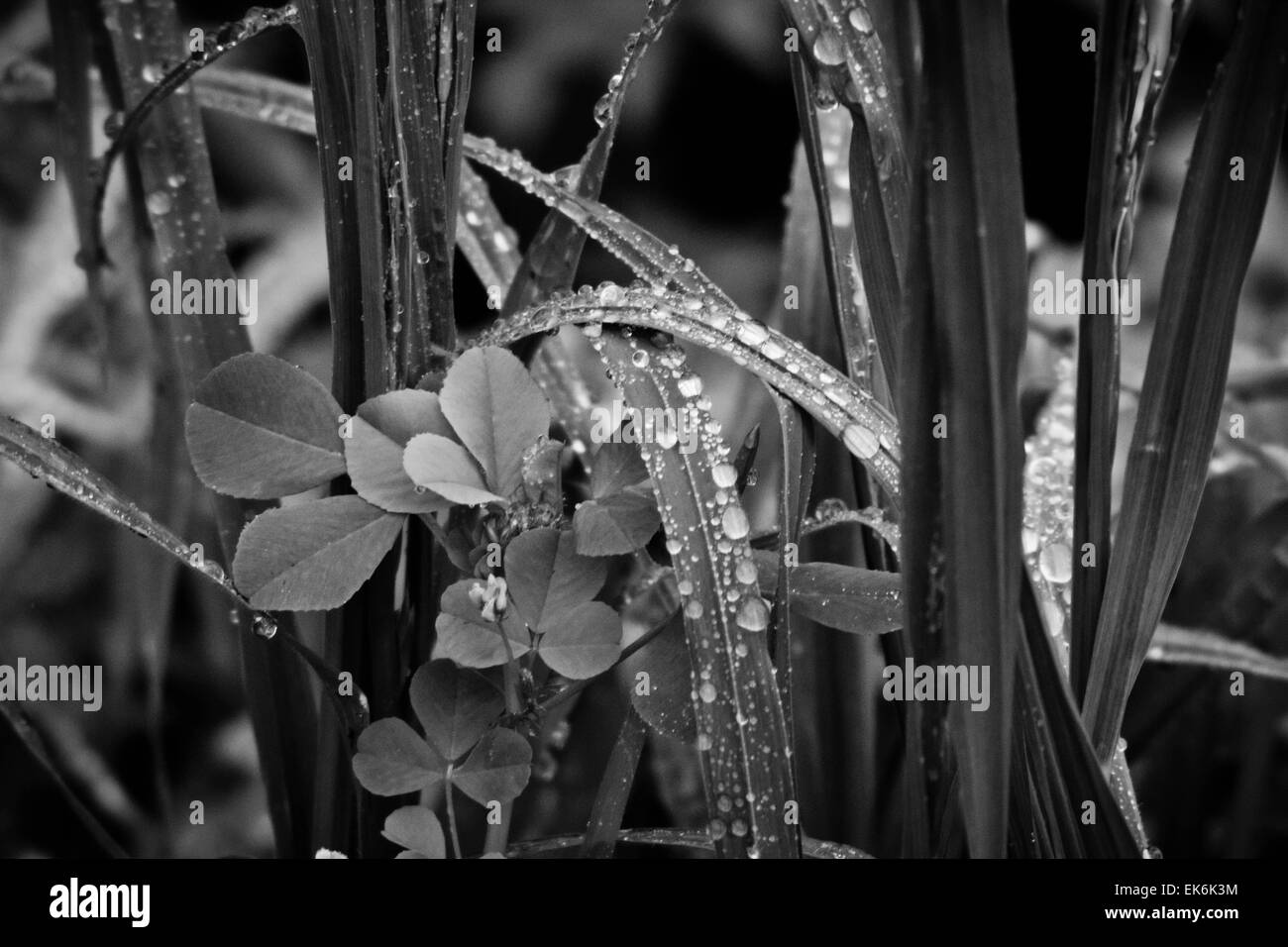Morning Dew Drops - Stock Image