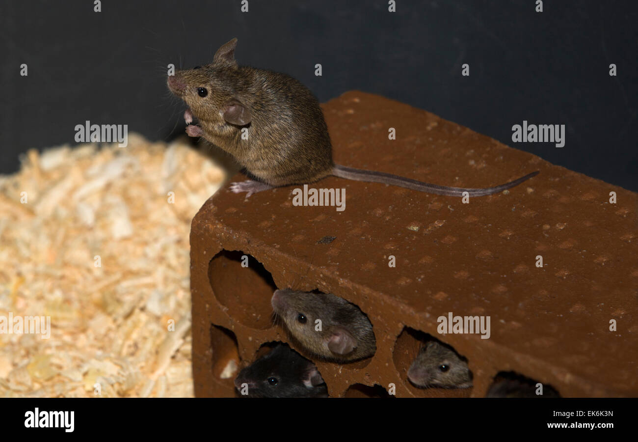 Containers to breed rats and mice, food captive raptors AMUS Center wildlife recovery Stock Photo