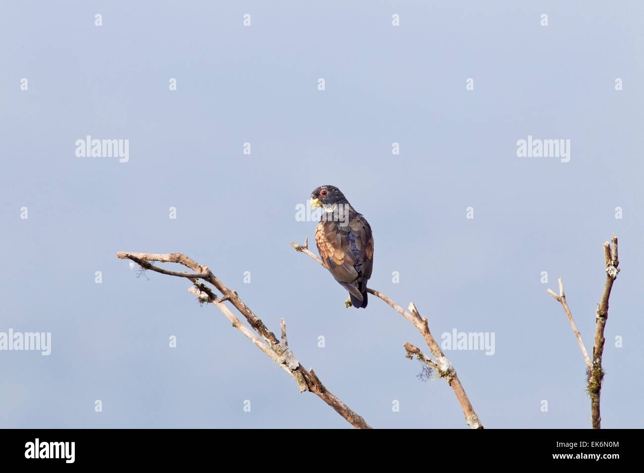 Bronze-winged Parrot (Pionus chalcopterus) adult perched in dead tree, Ecuador, central America - Stock Image