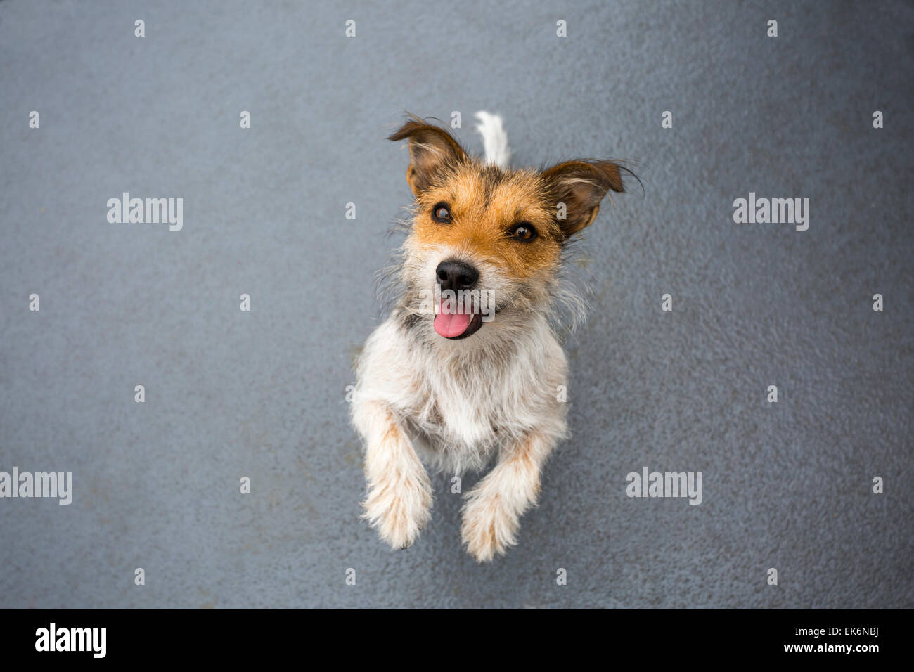 Jack Russell Terrier anticipating a treat - Stock Image