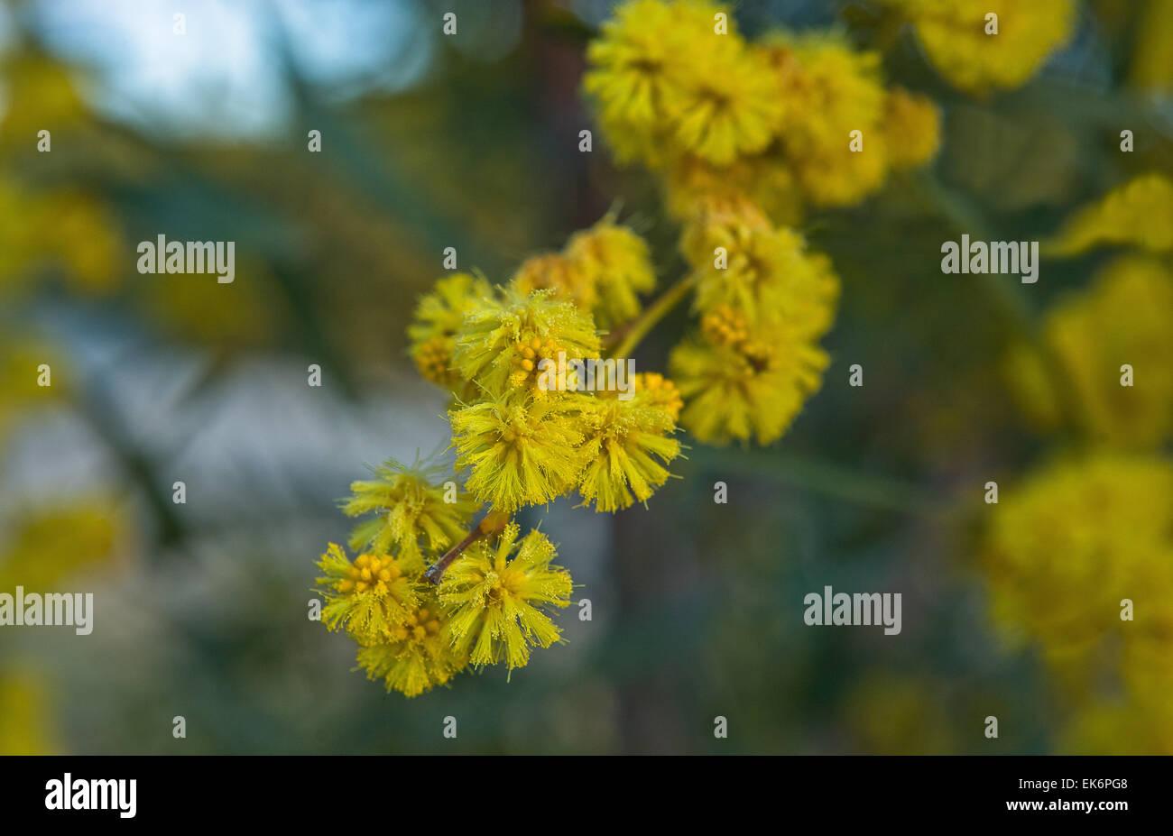 Acacia Pycnantha Golden Wattle Is Australias Floral Emblem It Is