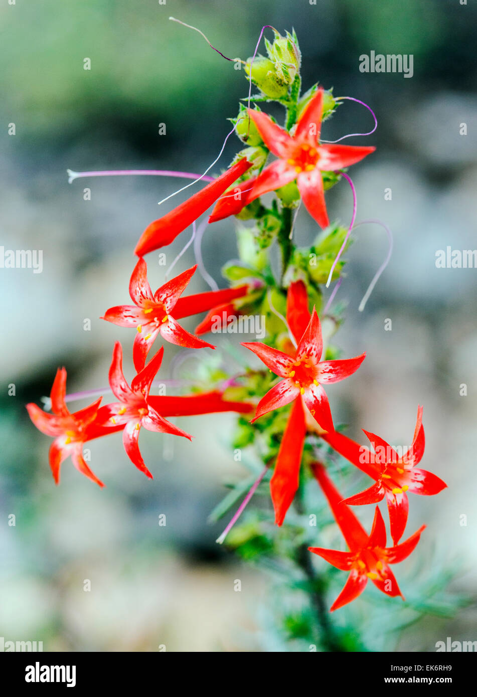 Scarlet Gilia, Ipomopsis aggregata, Morning Glories, wildflowers in bloom, Central Colorado, USA - Stock Image