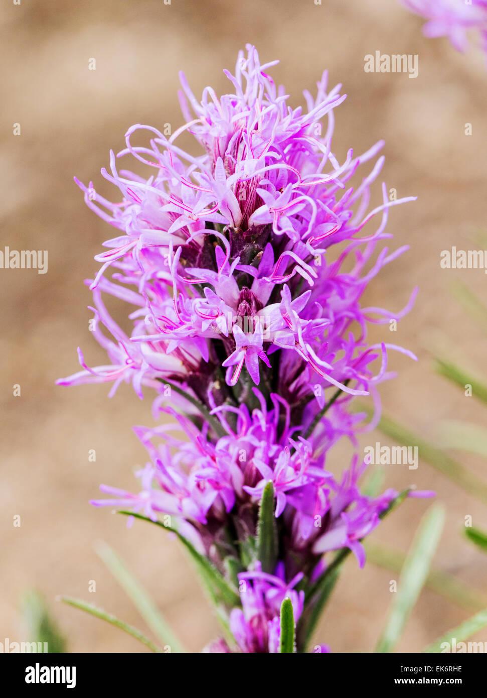 Prairie Blazingstar, Kansas Gayfeather, Liatris pycnostachya, wildflower in bloom, Central Colorado, USA - Stock Image