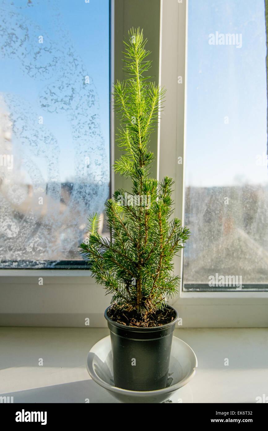 Evergreen tree in the pot on windowsill - Stock Image