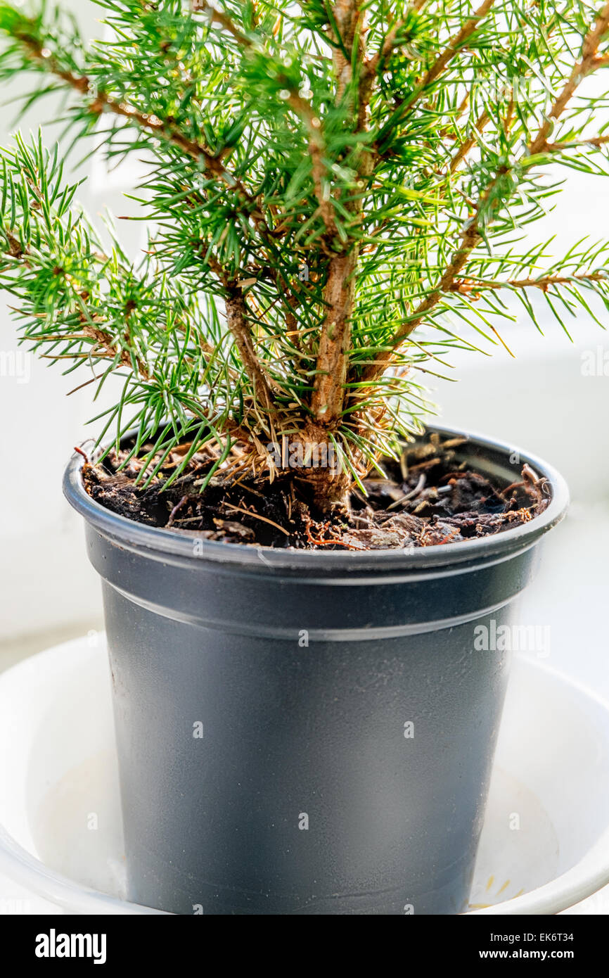 Closeup of the evergreen tree in the pot - Stock Image