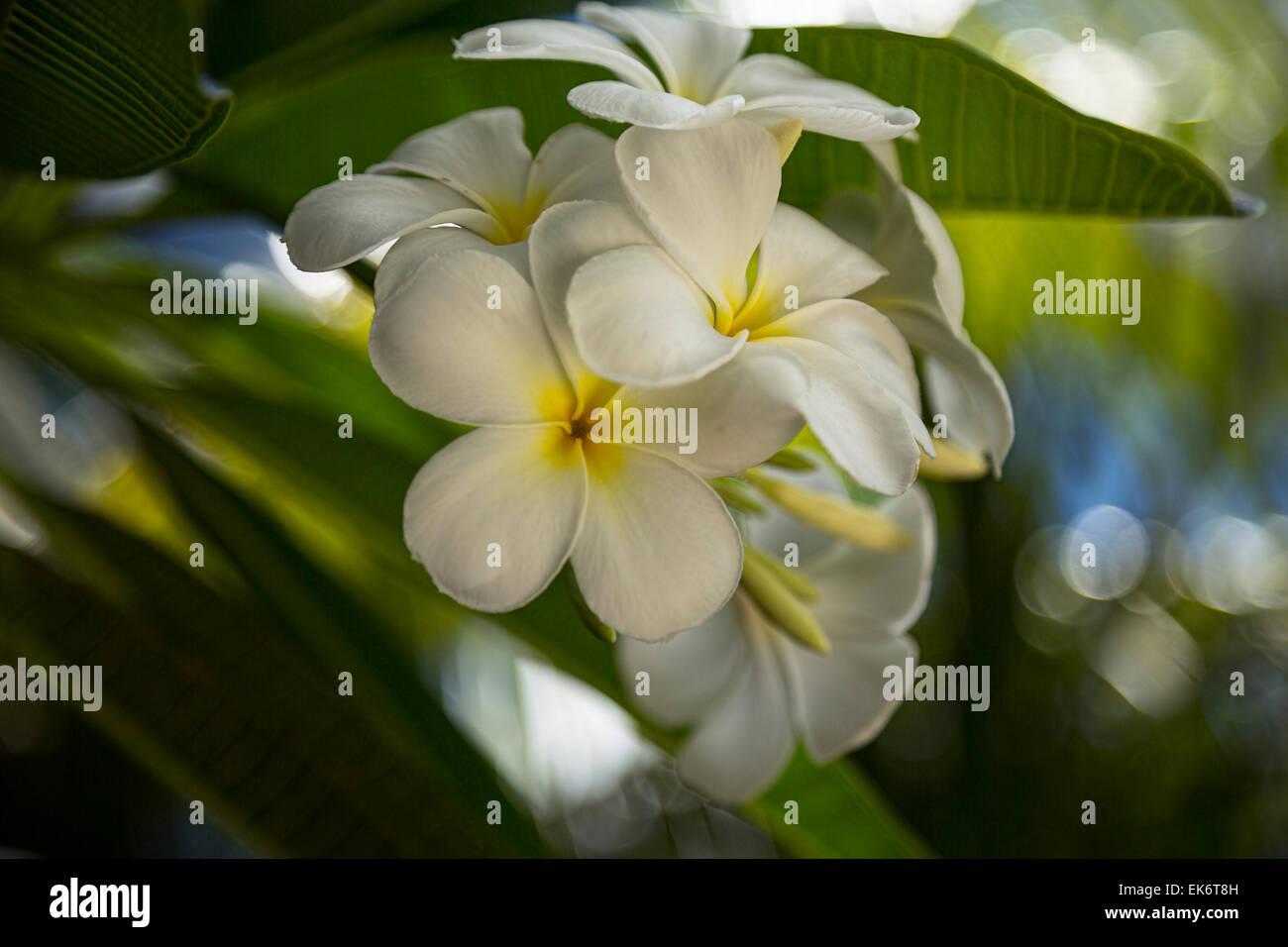 Bunch Of Frangipani Flowers In Closeup Stock Photo 80670705 Alamy