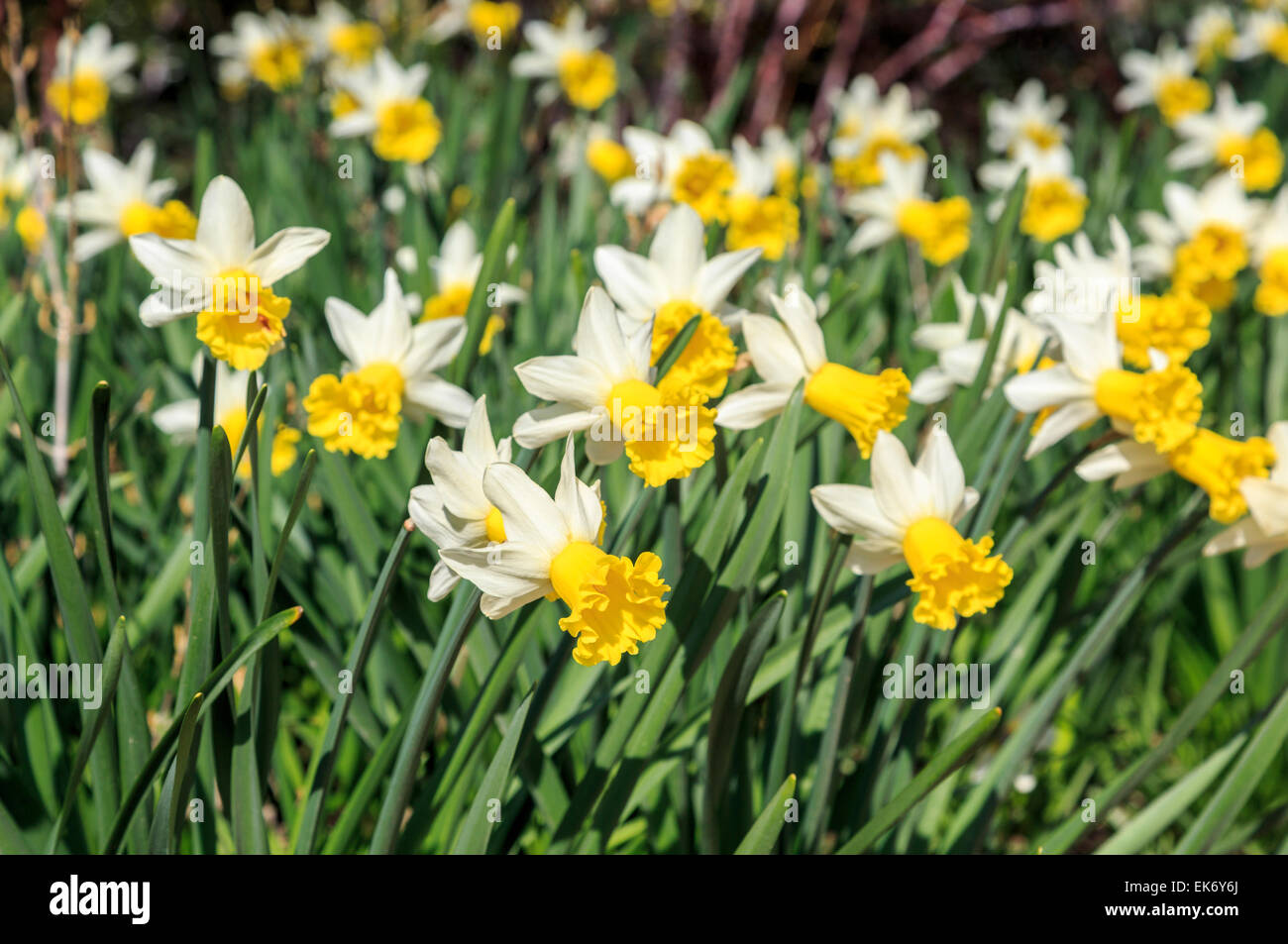 Narcissus 'Wisley', a bicoloured daffodil with white petals and bright yellow frilly trumpet, named for the RHS Stock Photo