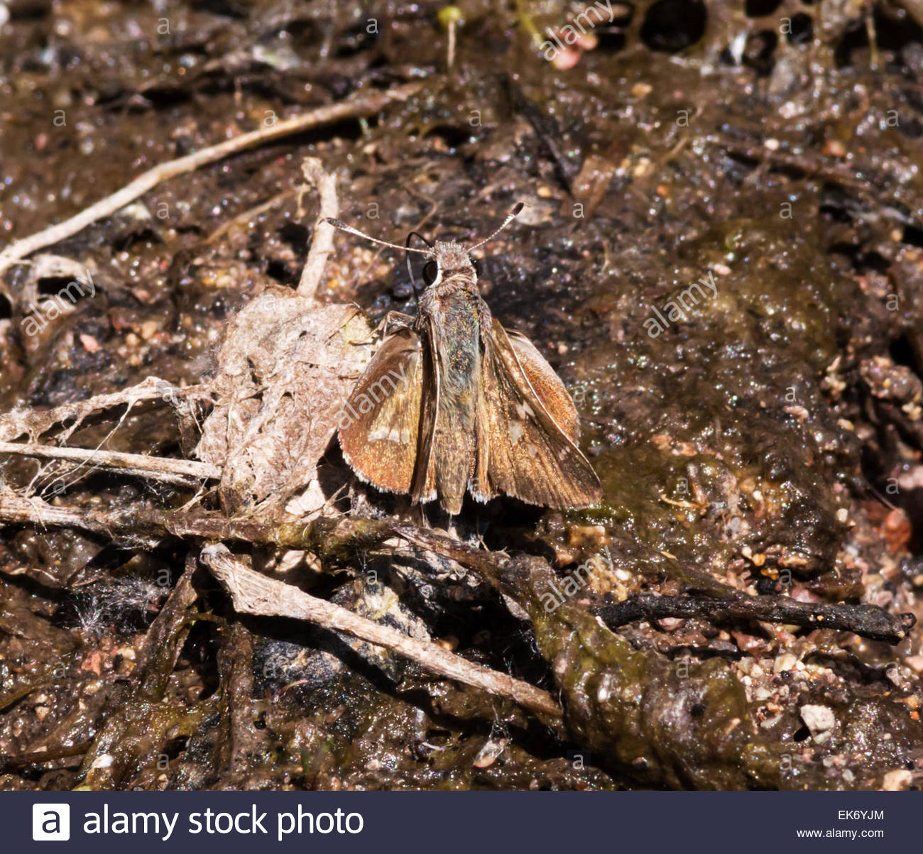 White-barred Skipper Atrytonopsis pittacus  Butterfly Arizona Stock Photo