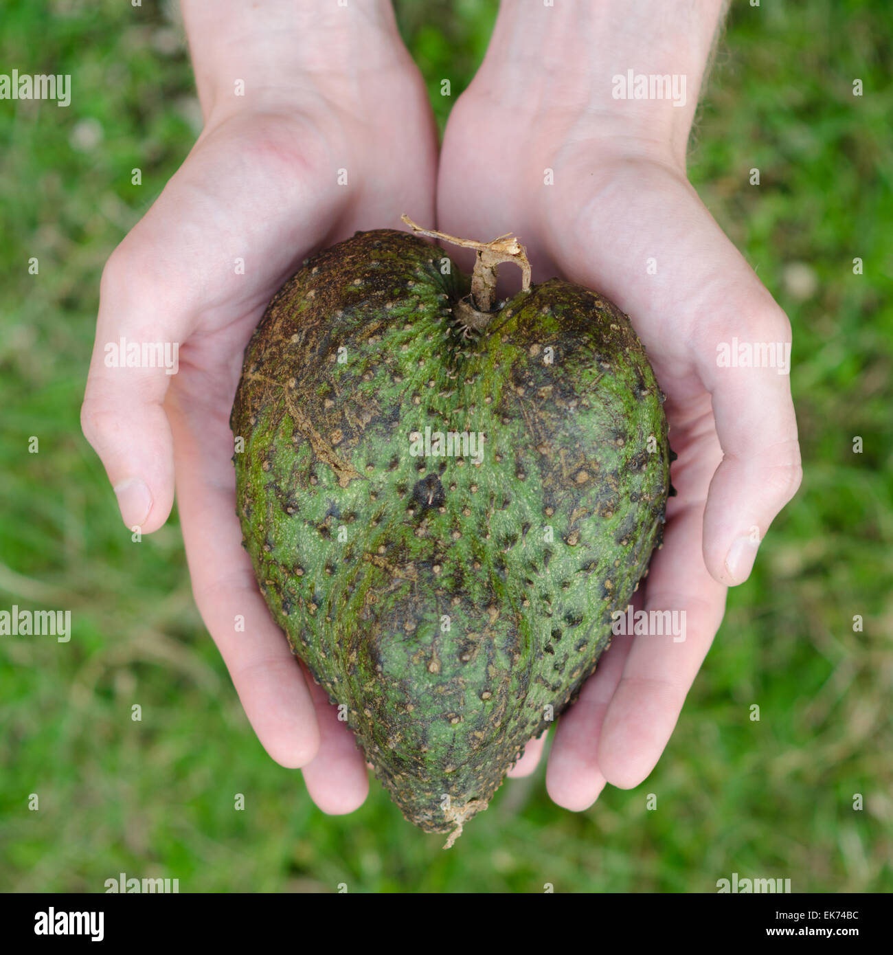 guanabana heart form in mans hands on green grass background square - Stock Image