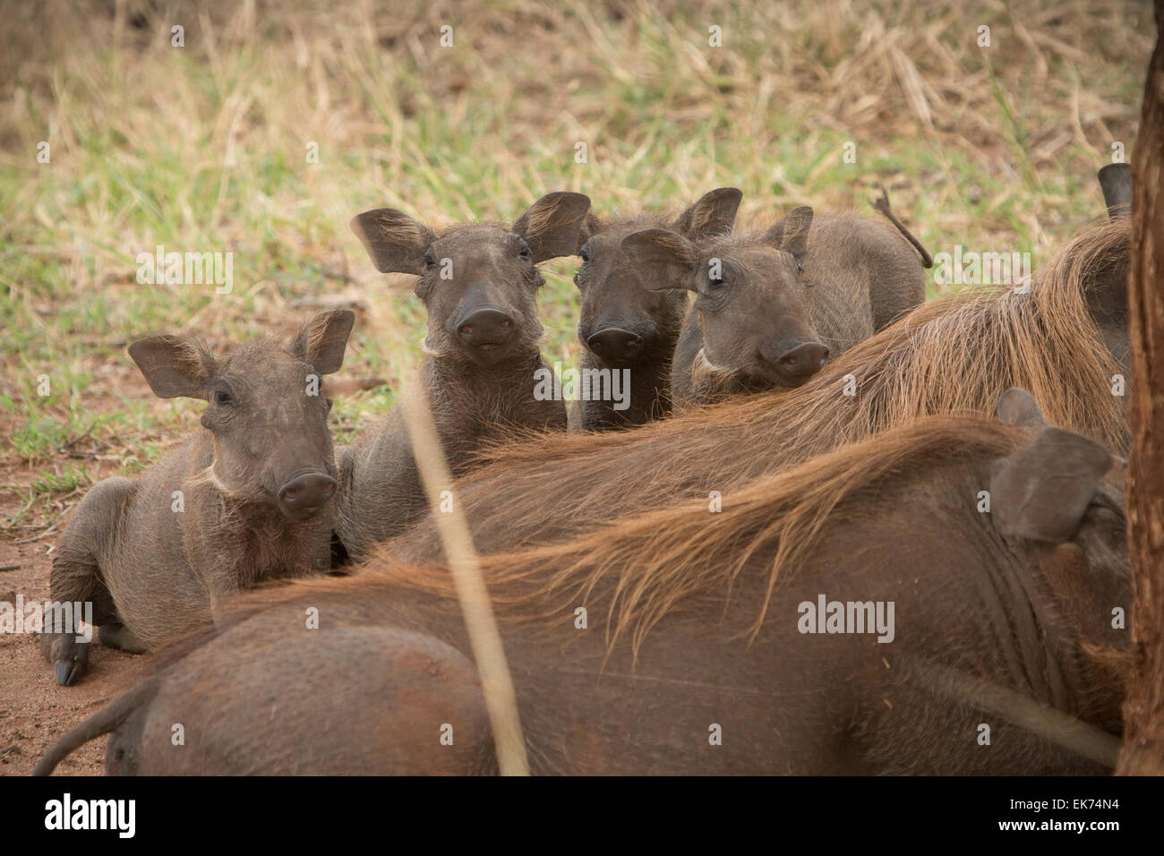Warthog family with young at Kidepo Valley National Park in Northern Uganda, East Africa - Stock Image