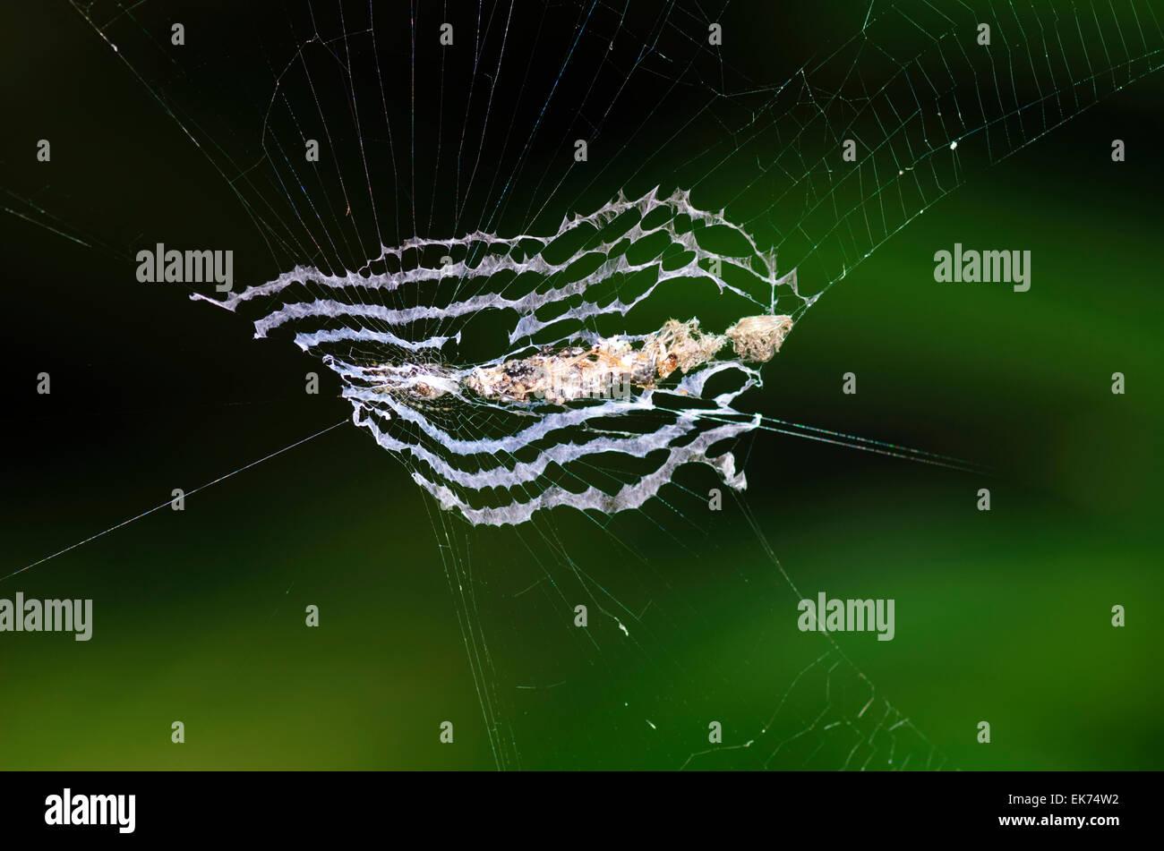 Spiderweb of Orb-weaving Spider (Cyclosa insulana), Queensland, Australia - Stock Image