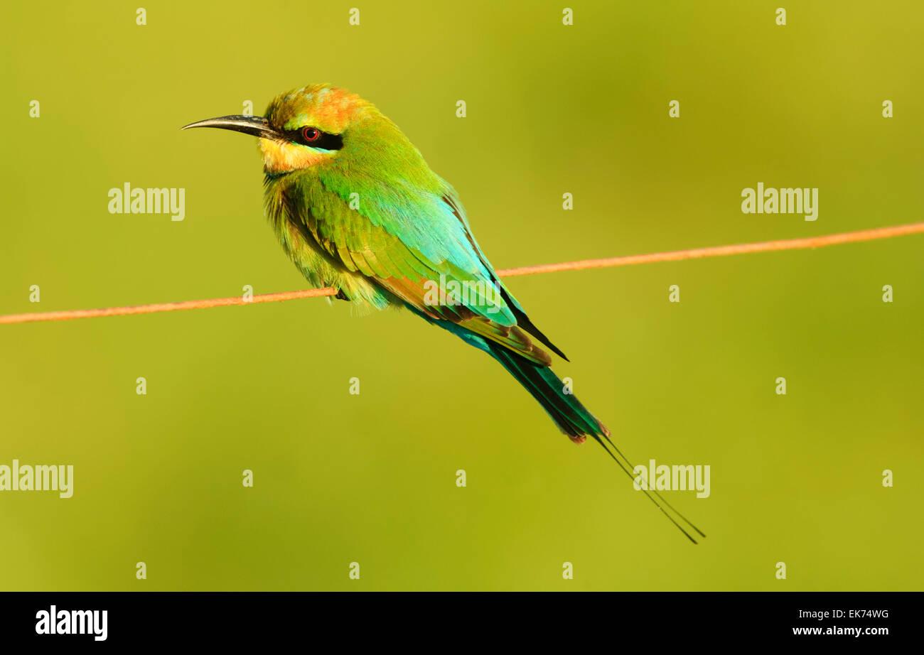 Rainbow Bee-eater (Merops ornatus), Queensland, Australia - Stock Image