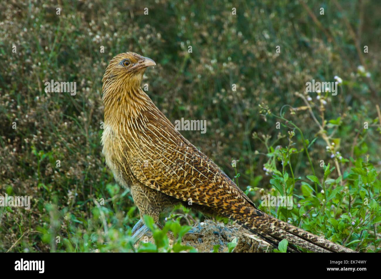 Pheasant Coucal (Centropus phasianinus), Queensland, Australia - Stock Image