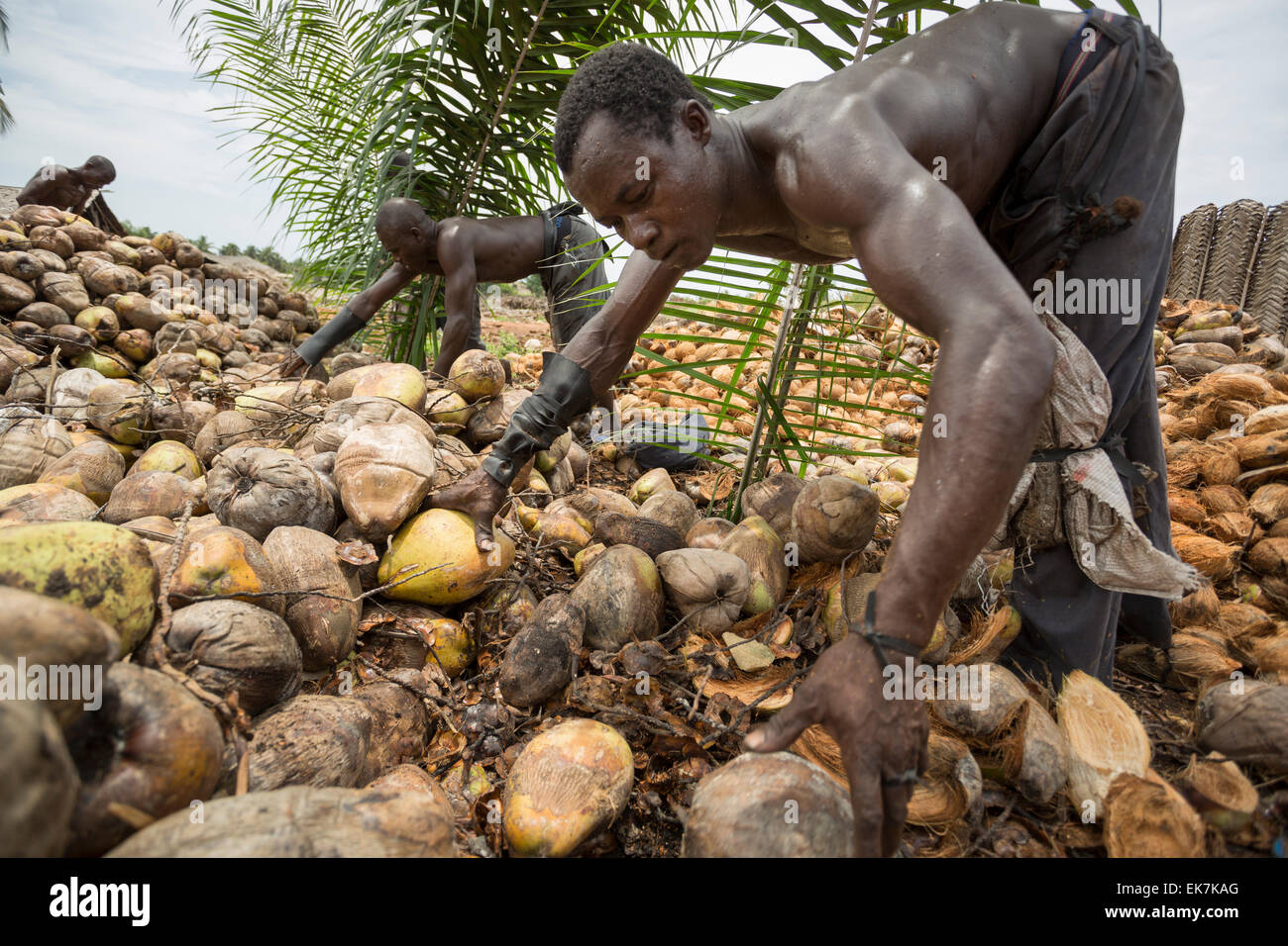 A worker husks coconuts at a fair trade coconut producer in Grand Bassam, Ivory Coast, West Africa. - Stock Image