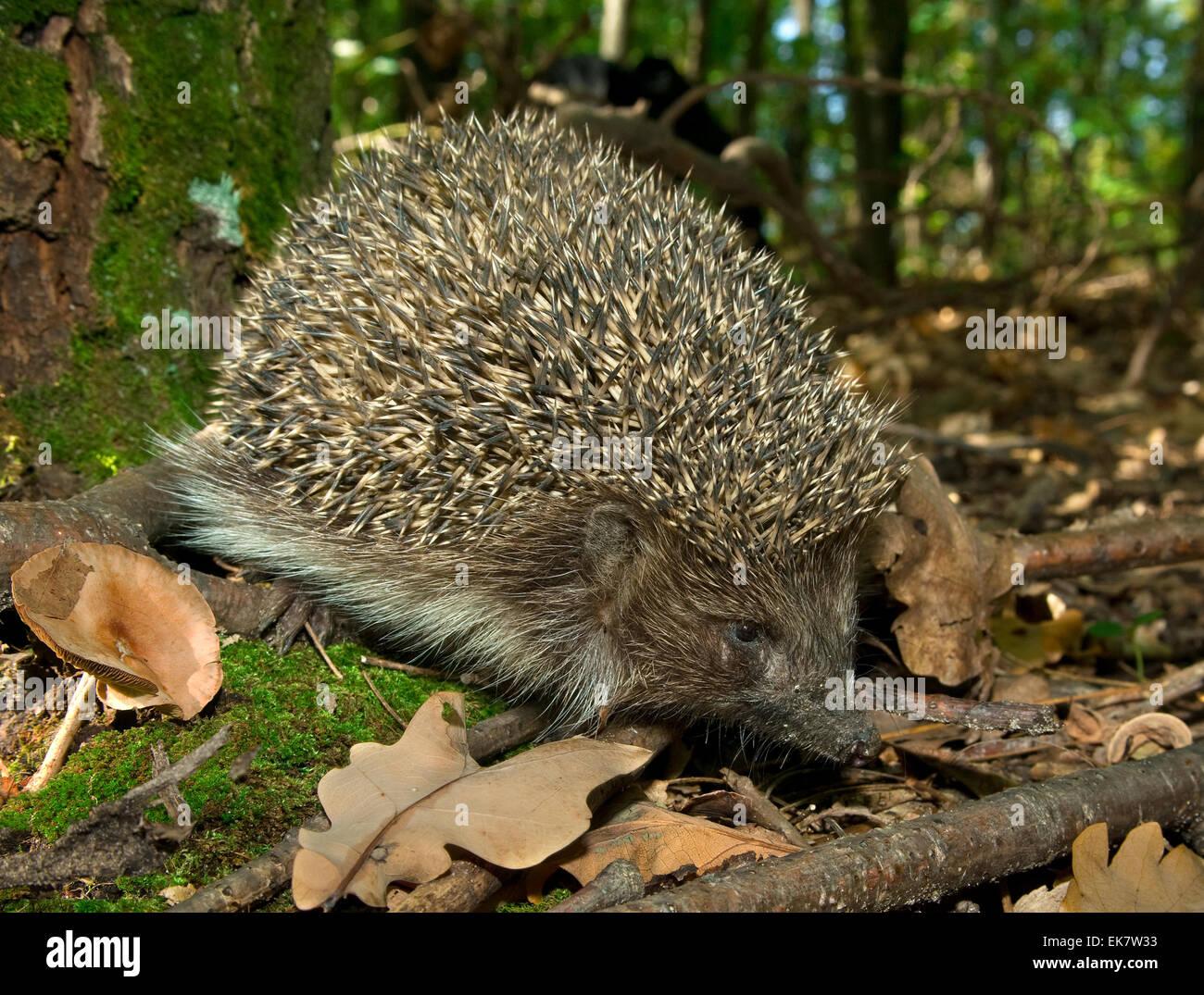 c145977e5804 Hedgehog Suit Stock Photos   Hedgehog Suit Stock Images - Alamy