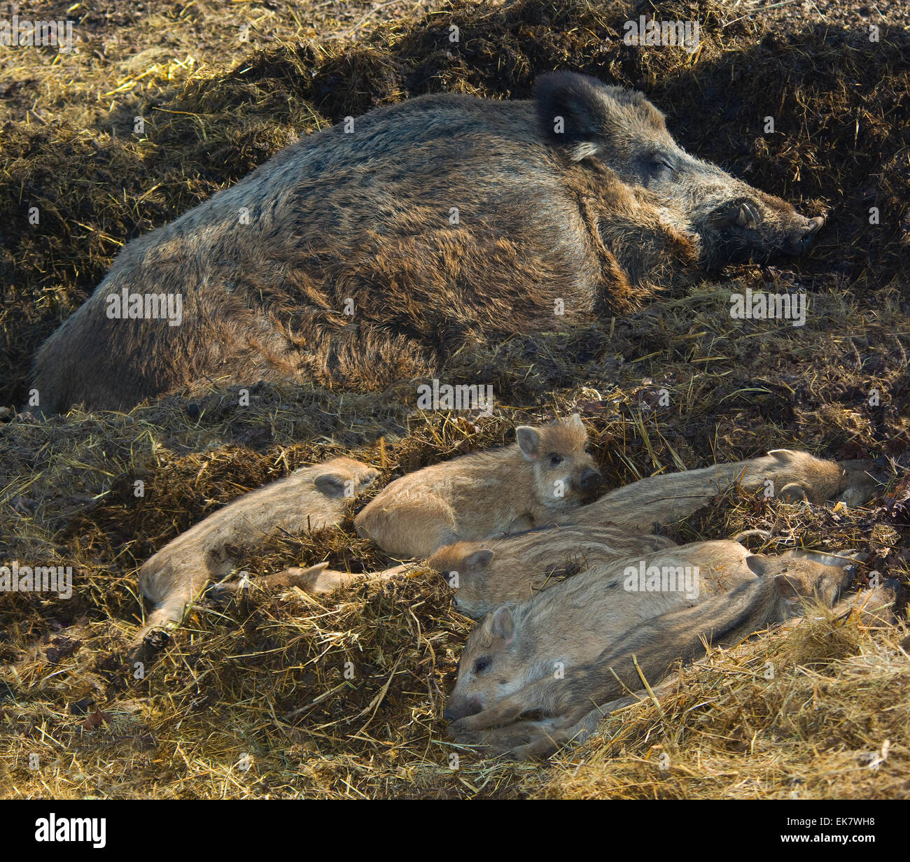 A family of wild boars with cubs resting.(Sus scrota). - Stock Image