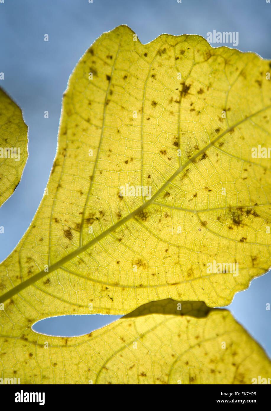 Winter leaves against the light, Gudalquivir grove of trees, Cordoba, Spain Stock Photo
