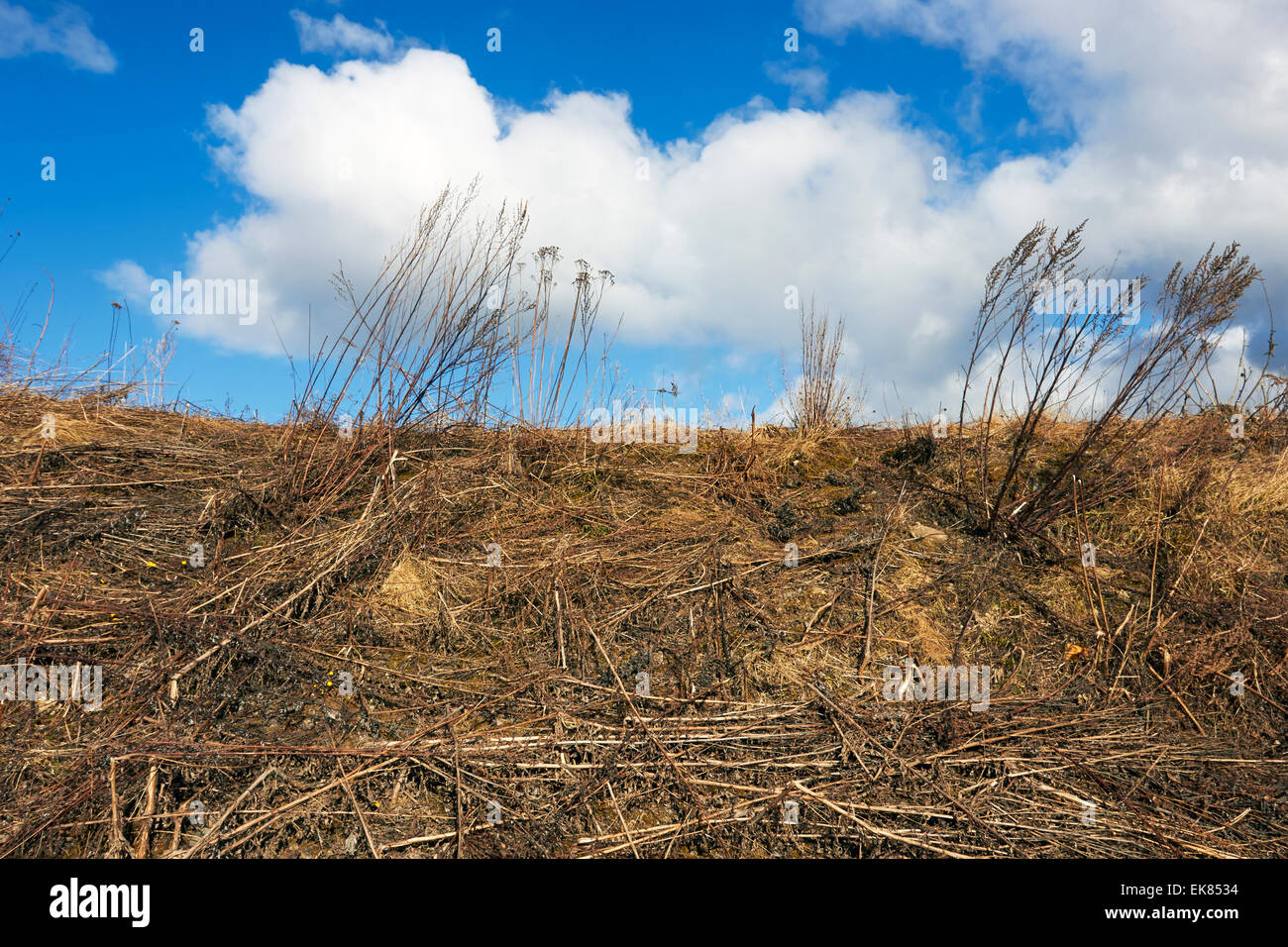 dead plants at spring, Finland - Stock Image