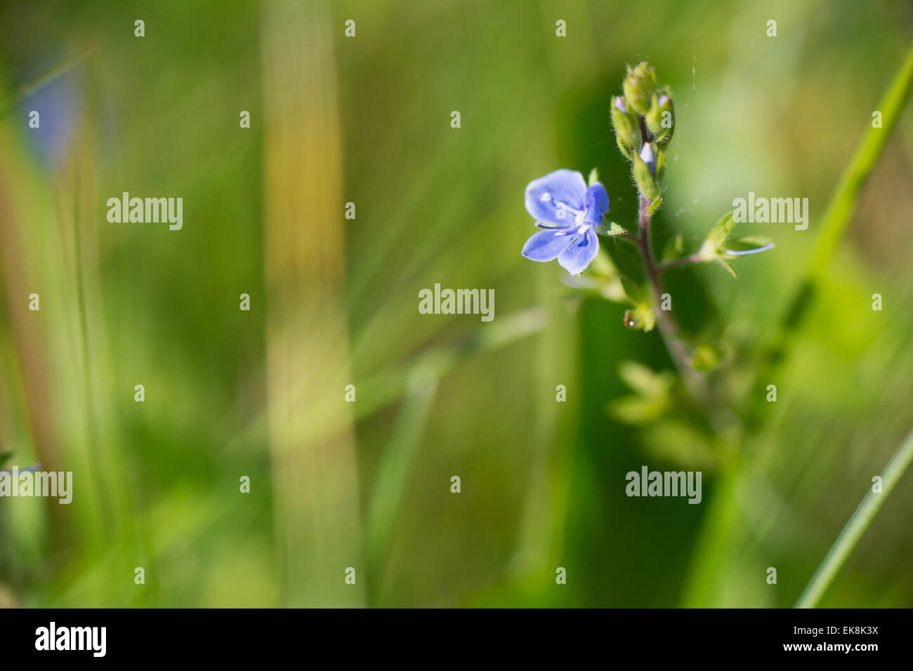 Little blue European speedwell in nature Stock Photo