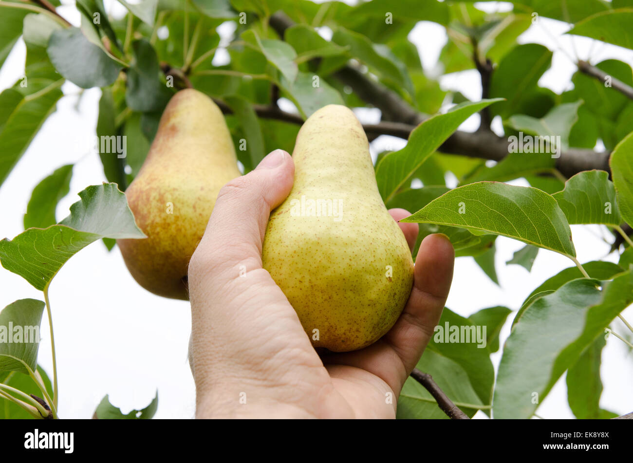 masculine hand pulls off an pear - Stock Image