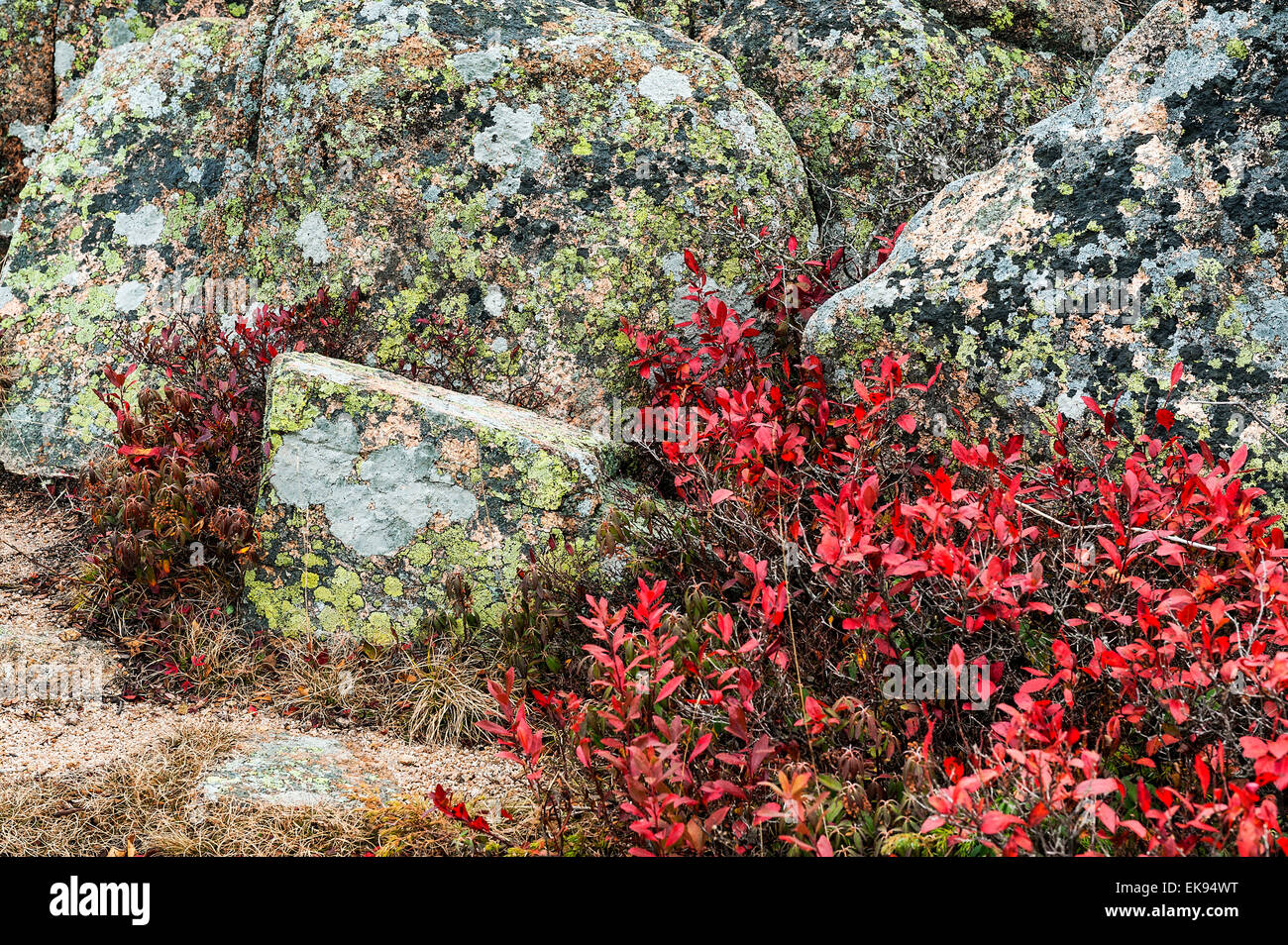Lichen covered granite and groundcover foliage, Acadia National Park, Maine, USA - Stock Image