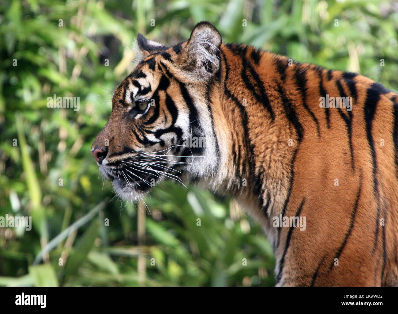 Female Sumatran tiger (Panthera tigris sumatrae) in profile portrait - Stock Image