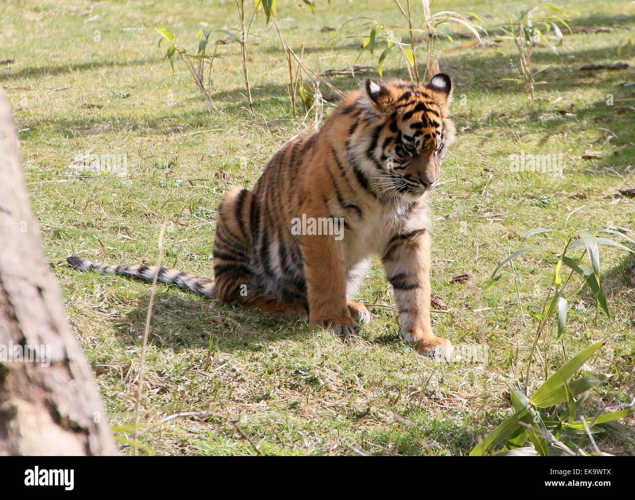 Solitary Sumatran Tiger whelp (Panthera tigris sumatrae) - Stock Image