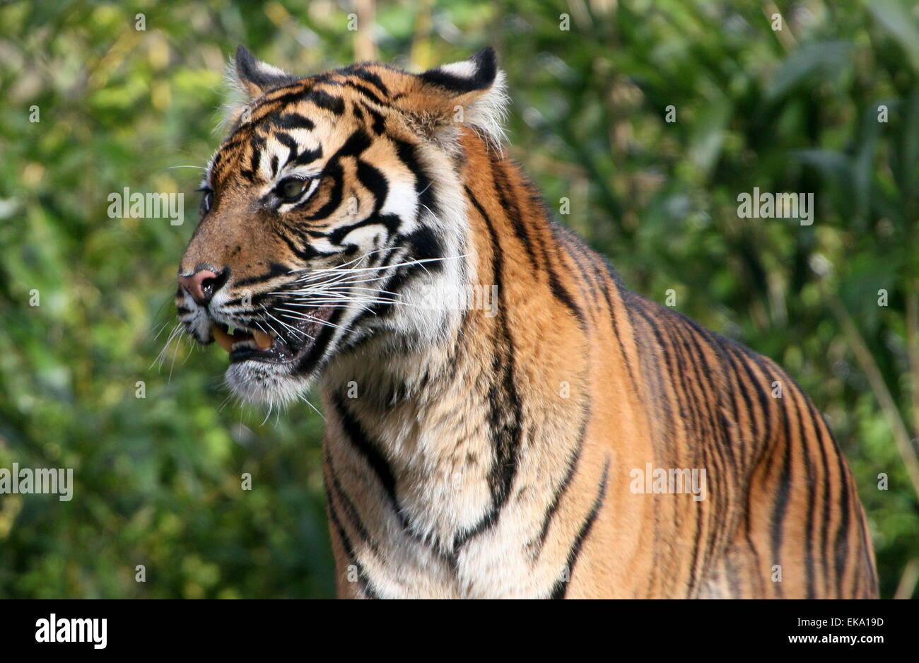 Sumatran tiger (Panthera tigris sumatrae) in closeup - Stock Image