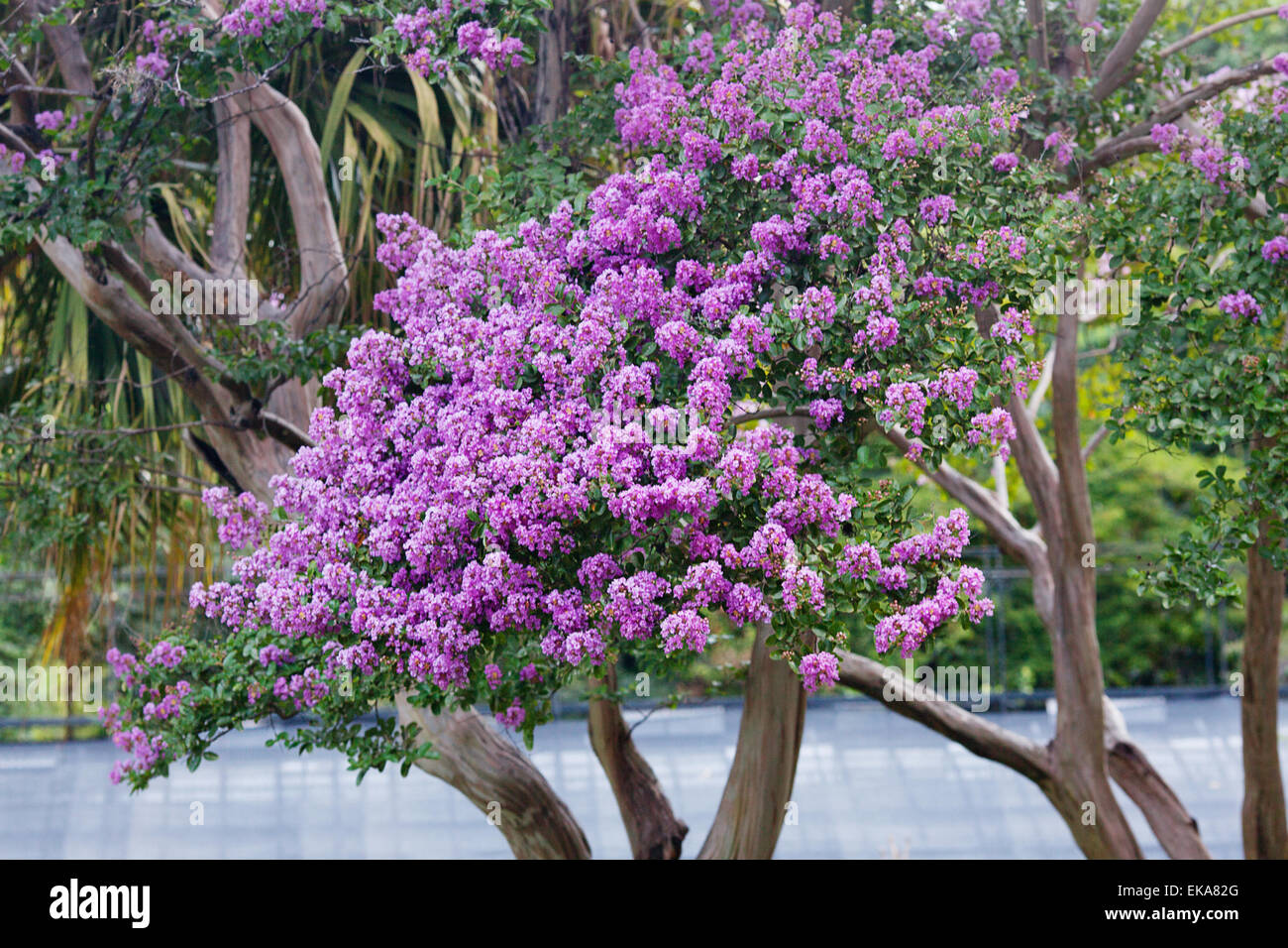 Green Trees With Purple Flowers In The Park Stock Photo 80745800