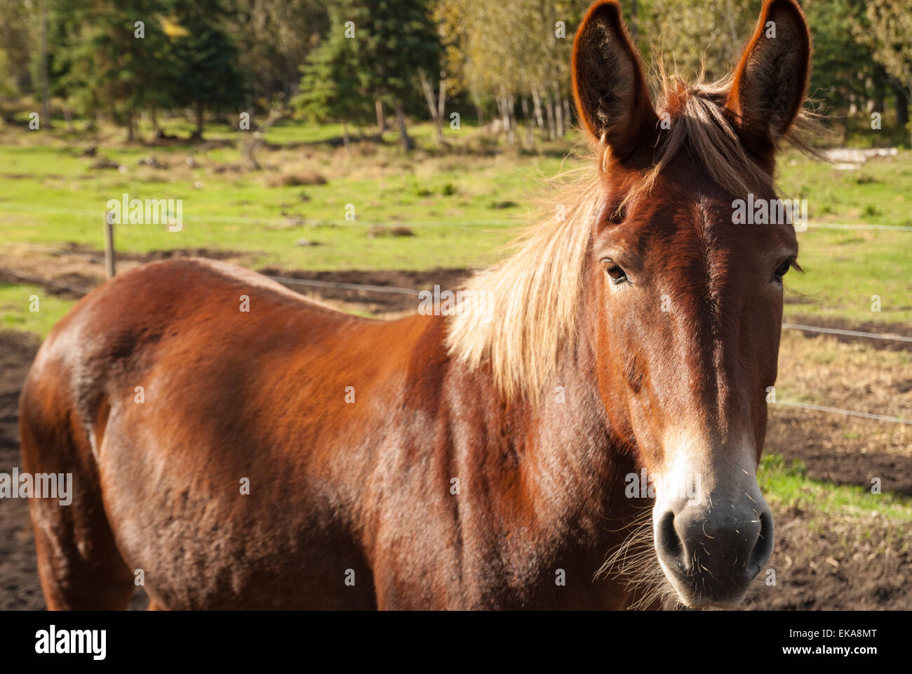 closeup view of a mule, Equus asinus x Equus caballus, on a central Alberta farm Stock Photo