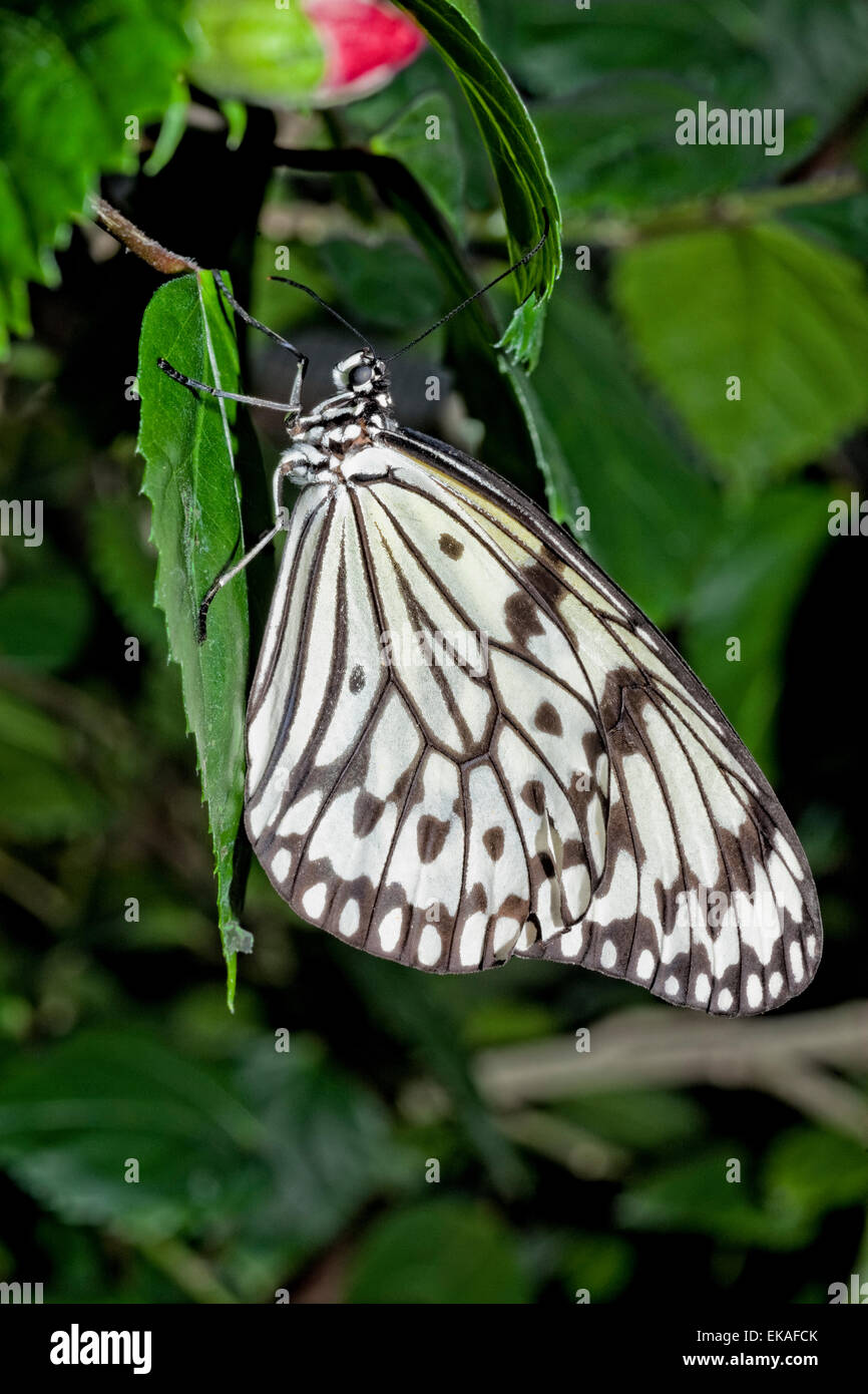 Paper Kite, Rice Paper, or Large Tree Nymph Butterfly - Idea leuconoe - Stock Image