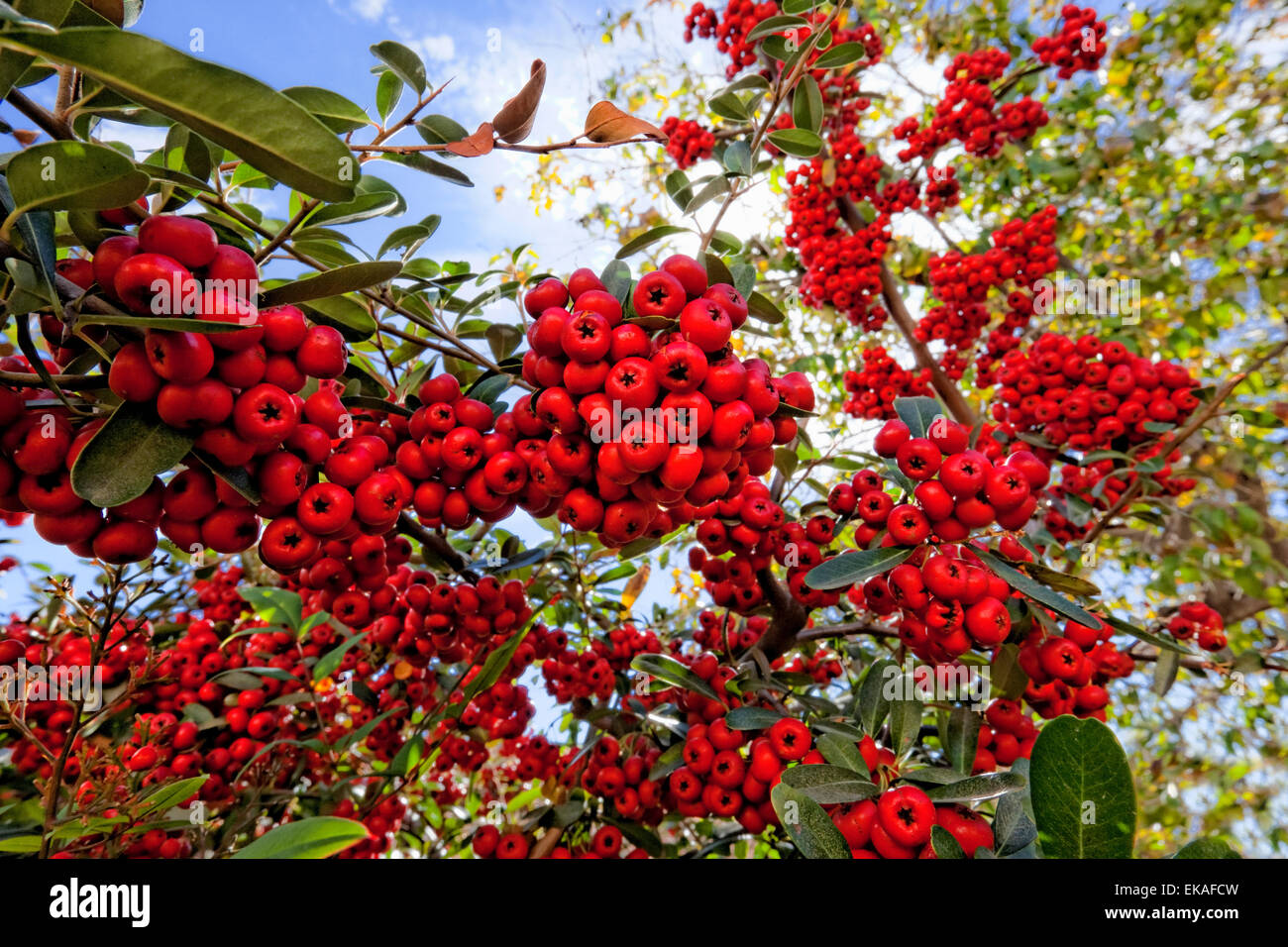 Pyracantha (berries) is a genus of thorny evergreen large shrubs in the family Rosaceae, with common name firethorn - Stock Image