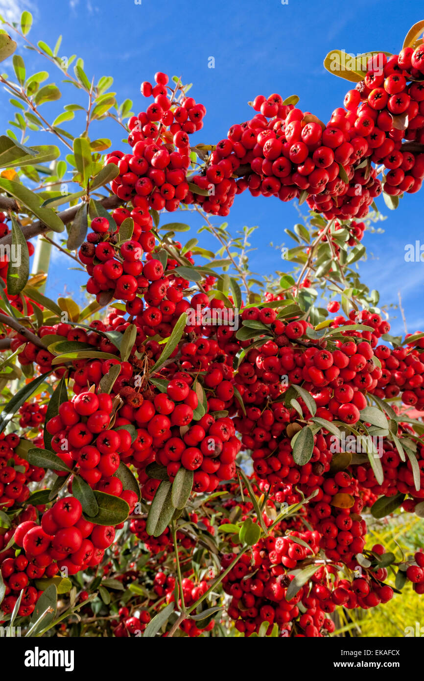Pyracantha (berries) is a genus of thorny evergreen large shrubs in the family Rosaceae, with common names firethorn Stock Photo