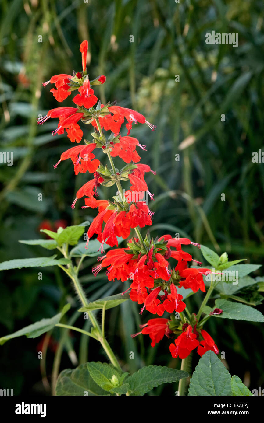 Salvia coccinea also; Texas sage, scarlet sage, tropical sage, blood sage; is a herbaceous perennial - Stock Image